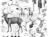 Deer  58 x 84cm